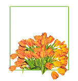 Orange tulips bouquet  in the green spring frame. Orange tulips bouquet  in green spring frame on the white background with blank area for text greetings or Royalty Free Stock Images