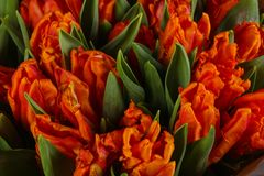 Orange tulips bouquet. Young spring flowers stock images