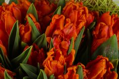 Orange tulips bouquet. Young spring flowers royalty free stock images