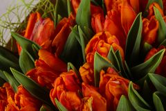 Orange tulips bouquet. Young spring flowers stock image