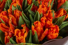 Orange tulips bouquet. Young spring flowers royalty free stock photography