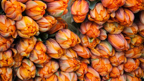 Orange tulips bouquets background. Royalty Free Stock Images
