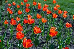 Orange tulips. Royalty Free Stock Photo