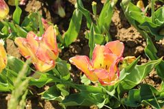 Orange tulips, `Cape Town` variety in the garden Royalty Free Stock Images