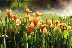 Orange tulips, `Cape Town` variety in the garden Stock Photography