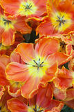 Orange Tulips in close up Royalty Free Stock Photo