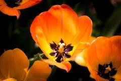 Orange Tulips. Close up of orange and yellow tulip royalty free stock photos