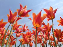Orange tulips. Collecting as much sunshine as they can royalty free stock photo