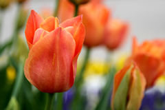 Orange tulips crown Stock Photos