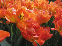 Orange tulips with droplets in spring Stock Image
