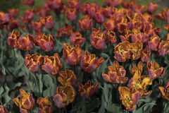 Orange tulips on the field. Close up view Royalty Free Stock Photography