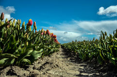 Orange Tulips. This field is filled with dutch orange tulips Royalty Free Stock Image