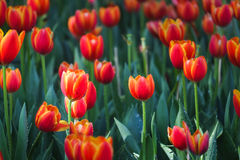 Orange Tulips. Field with natural sun light Stock Photo