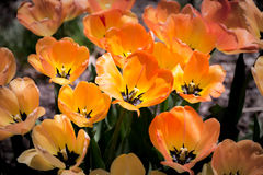 Orange Tulips. Field of orange and yellow tulips stock photo