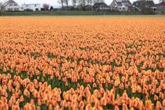 Tulips fields of the Bollenstreek, South Holland, Netherlands. Orange Tulips fields of the Bollenstreek, South Holland, Netherlands Royalty Free Stock Photo
