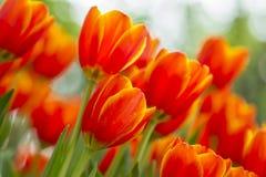 Orange tulips flower Royalty Free Stock Photos