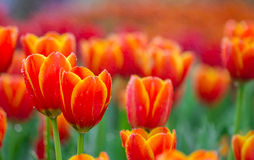 Orange tulips flower Royalty Free Stock Images