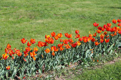 Orange tulips on the flower-bed Stock Photos