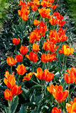 Orange tulips on the flower-bed Royalty Free Stock Photography