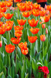 Orange tulips flower in garden. Many orange tulips flower in garden Stock Images
