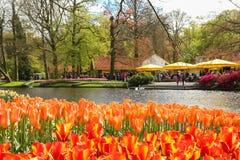 Orange tulips in flower garden royalty free stock photography