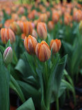 Orange tulips Stock Images