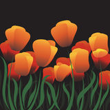 Orange tulips flower vector on dark background Stock Photos