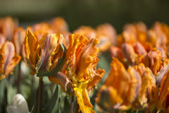 Orange tulips. Flowering orange tulips in a flowerbed Stock Image
