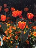 Orange tulips and flowers. In a garden Royalty Free Stock Photography
