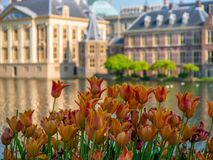 Orange tulips in front of the Dutch parliament. Behind the pond stock images