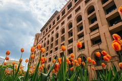 Orange tulips in front of the monumental building, Yerevan royalty free stock photos