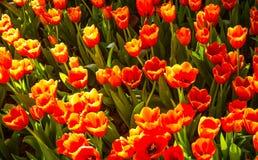 Orange tulips Royalty Free Stock Photography