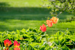 Orange Tulips. In the garden Stock Photo