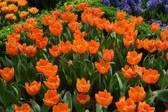 Orange tulips. Gardens by the bay Singapore stock image
