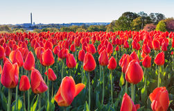 Orange Tulips Glowing in the Morning Sun Stock Image