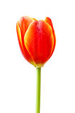 Orange tulips isolated Stock Photos