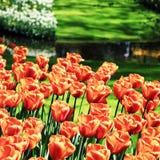 Orange tulips in Keukenhof flower garden park Stock Photography