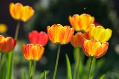 Orange tulips. And little bee in the garden royalty free stock photos