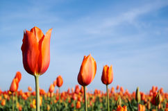 Orange Tulips in the Morning. Bright orange tulips blooming in a garden against blue skies Stock Images