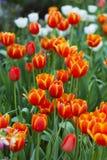 Orange tulips. On nature background Royalty Free Stock Image