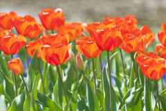 Orange tulips. In the park Stock Photography