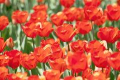 Orange tulips. In the park Stock Photo
