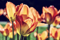 Orange tulips in the park, close up, photo filter. Blooming orange tulips in the spring park. Natural scene. Spring time. Close up photo. Retro photo filter Royalty Free Stock Photos