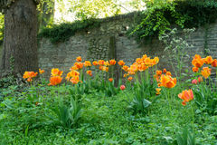 Orange Tulips in a park. royalty free stock photography