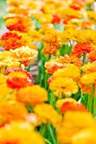 Orange tulips in the park. A lot of orange tulips in the park Royalty Free Stock Images