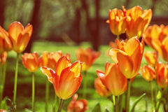 Orange tulips in the park, photo filter. Blooming orange tulips in the spring park. Natural scene. Spring time. Yellow photo filter Stock Photos