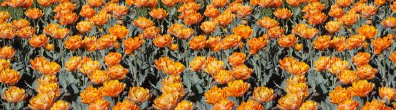 ORANGE TULIPS FIELD PANORAMA Stock Photography