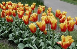 Orange tulips planted in gardens for the beauty.