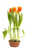 Orange tulips in pot. Isolated on white background Royalty Free Stock Photo