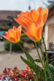 Orange tulips in a public garden Royalty Free Stock Images